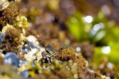 Caranguejo minúsculo em Tidepools em Oregon, EUA Fotografia de Stock