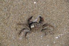 Caranguejo na areia, verão 2014 imagens de stock royalty free