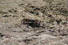 Caranguejo na areia, verão 2014 fotografia de stock royalty free