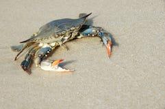 Caranguejo na costa Fotos de Stock