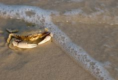 Caranguejo na costa de mar Imagens de Stock Royalty Free