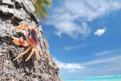 Caranguejo na palma Imagens de Stock Royalty Free