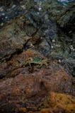 Caranguejo na pedra Fotografia de Stock