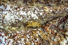 Caranguejo na pedra na praia Imagem de Stock