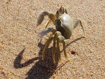 Caranguejo na praia Foto de Stock Royalty Free