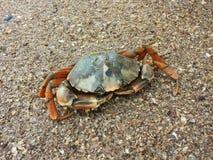 Caranguejo na praia Imagem de Stock Royalty Free