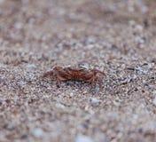 Caranguejo na praia, opinião do close up Fotografia de Stock Royalty Free