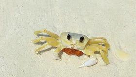 Caranguejo pequeno bonito da praia em Eagle Beach da ilha de Aruba caribbean foto de stock