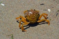 caranguejo pequeno na areia, morador do mar de adriático, mar fotos de stock