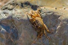 Caranguejo pequeno que esconde atrás de uma pedra grande imagem de stock royalty free