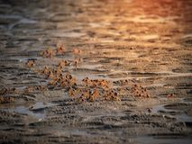 Caranguejo pequeno que move sobre a praia Fotografia de Stock Royalty Free