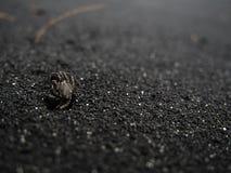 Caranguejo pequeno que rasteja na praia preta da areia Imagens de Stock Royalty Free