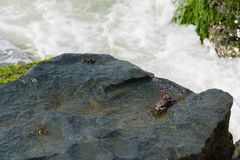 Caranguejo preto na superfície molhada da rocha Fotografia de Stock