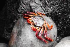 Caranguejo que descansa em uma rocha fotografia de stock royalty free