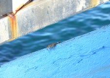 Caranguejo urbano & x28; Homem, Maldives& x29; Fotografia de Stock