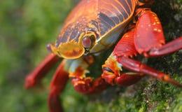 Caranguejo vermelho Fotos de Stock Royalty Free