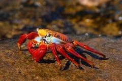 Caranguejo vermelho Imagem de Stock