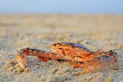 Caranguejo vermelho engraçado Fotos de Stock