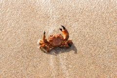 Caranguejo vermelho na praia fotos de stock