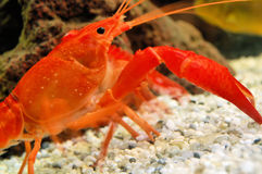 Caranguejo vermelho que anda no oceano Fotografia de Stock