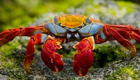 Caranguejo vermelho que senta-se nas rochas Os consoles de Galápagos Oceano Pacífico equador foto de stock royalty free