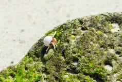 Caranguejos de eremita Imagem de Stock