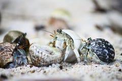 Caranguejos de eremita na praia Fotos de Stock