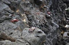 Caranguejos do La Palma, o Oceano Atlântico Fotos de Stock Royalty Free