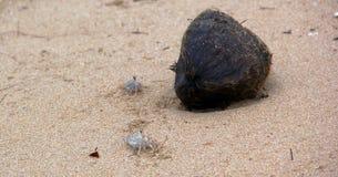 Caranguejos e um coco Foto de Stock