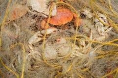 Caranguejos na rede de pesca Imagens de Stock