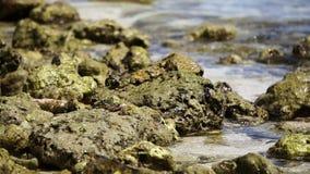 Caranguejos nativos de Maldivas na rocha e no Oceano Índico no tiro do movimento lento video estoque