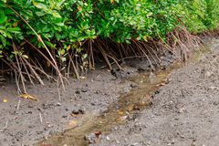 Caranguejos nos manguezais na lama e nas raizes Imagens de Stock