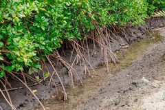 Caranguejos nos manguezais na lama entre raizes Imagens de Stock Royalty Free