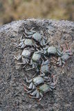 Caranguejos pretos Imagem de Stock
