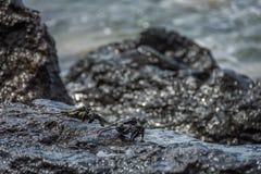 Caranguejos pretos em rochas molhadas Fotos de Stock
