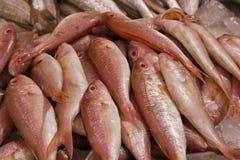 Caranx crysos,Blue runner fish stock image