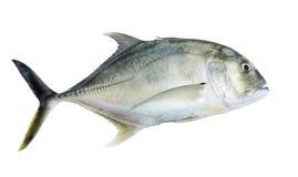 The Caranx ignobilis. Giant kingfish or Giant trevally, Lowly trevally on whitebackground stock image
