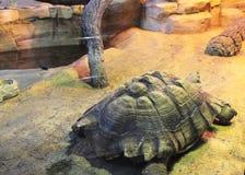 Carapace afrykanin Pobudzający Tortoise Obrazy Stock