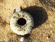 Carapace d'un oursin photo stock