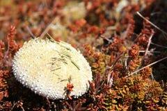 Carapace d'urcin de mer avec des pointeaux image stock