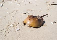 Carapace de crabe en fer à cheval Photographie stock libre de droits