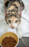 Carapace smarrita affamata Cat Looking While Eating Dry F del calicò Immagine Stock