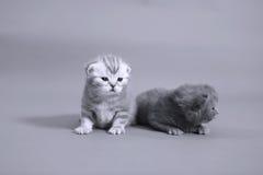 Caras bonitas do gatinho Fotos de Stock