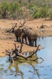 Caras a cara elefantes Imagens de Stock Royalty Free