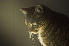 Caras del gato en la sombra Foto de archivo