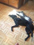 Caras divertidas de George el gato dañoso de Mainecoon Foto de archivo