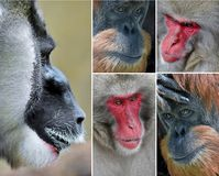 Caras hermosas de monos Foto de archivo libre de regalías