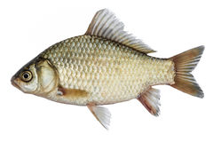 Carassio isolato, un genere di pesce dal lato Pesce vivo con le alette scorrenti Pesci del fiume fotografie stock