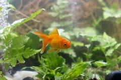 Carassius auratus Goldfisch hinter einer Wasserpflanze stockbilder