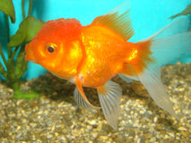 Carassius auratus goldfish lion's head. Carassius auratus var. goldfish lion's head royalty free stock images